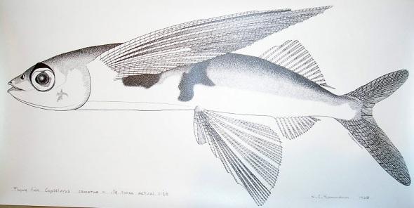 flyingfish-4.jpg